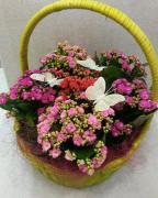 Корзина с комнатными  цветами