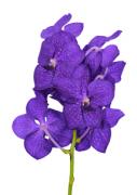 """Орхидея """"Ванда"""" (1цв.)"""