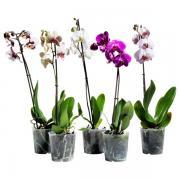 Орхидея в ассортименте