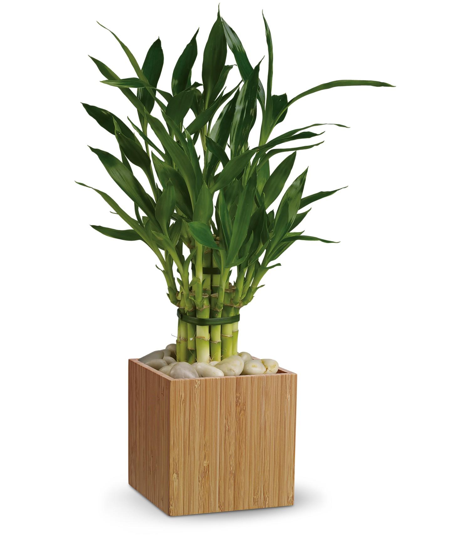 Купить бамбук растение в москве, купить оптом цветы